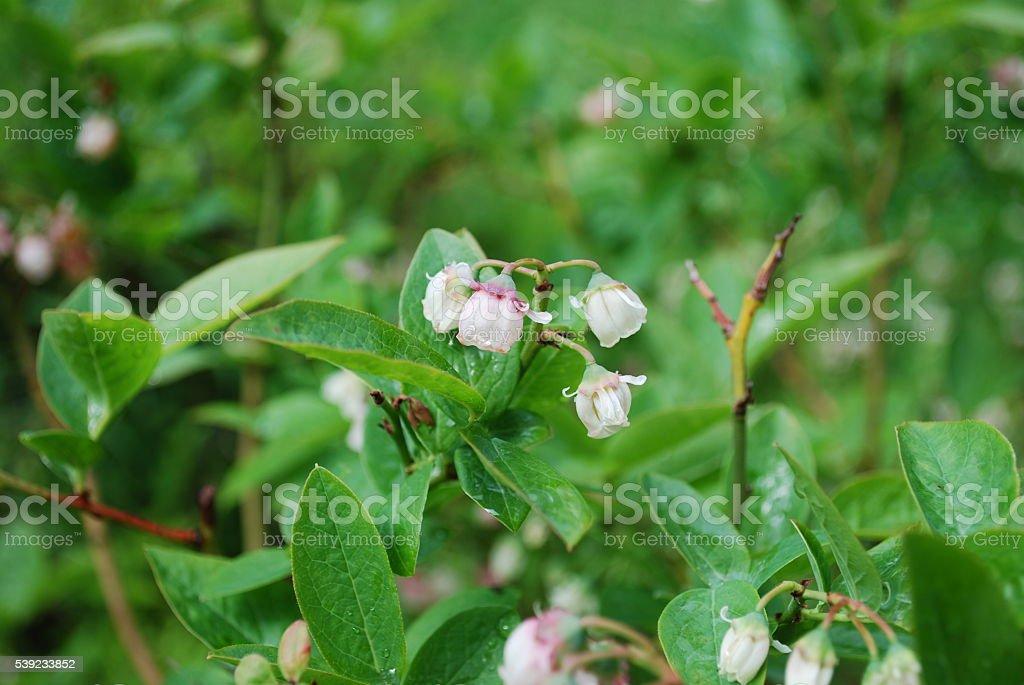 Mirtilos flores desabrocham (branco). foto royalty-free