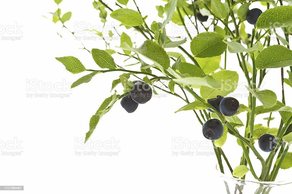 Blueberries bush stock photo