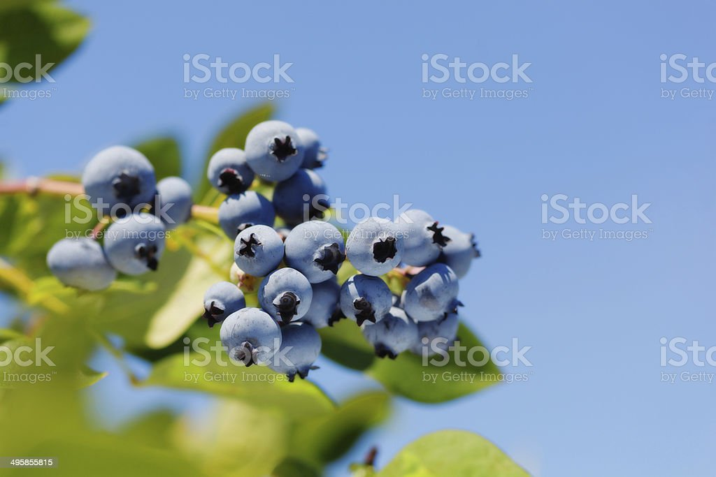 Blueberries Bush with Ripe Clusters of Fruit Horizontal stock photo