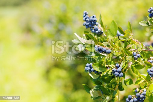 Subject: A cluster of blueberries hanging on a branch of the blueberry plant.