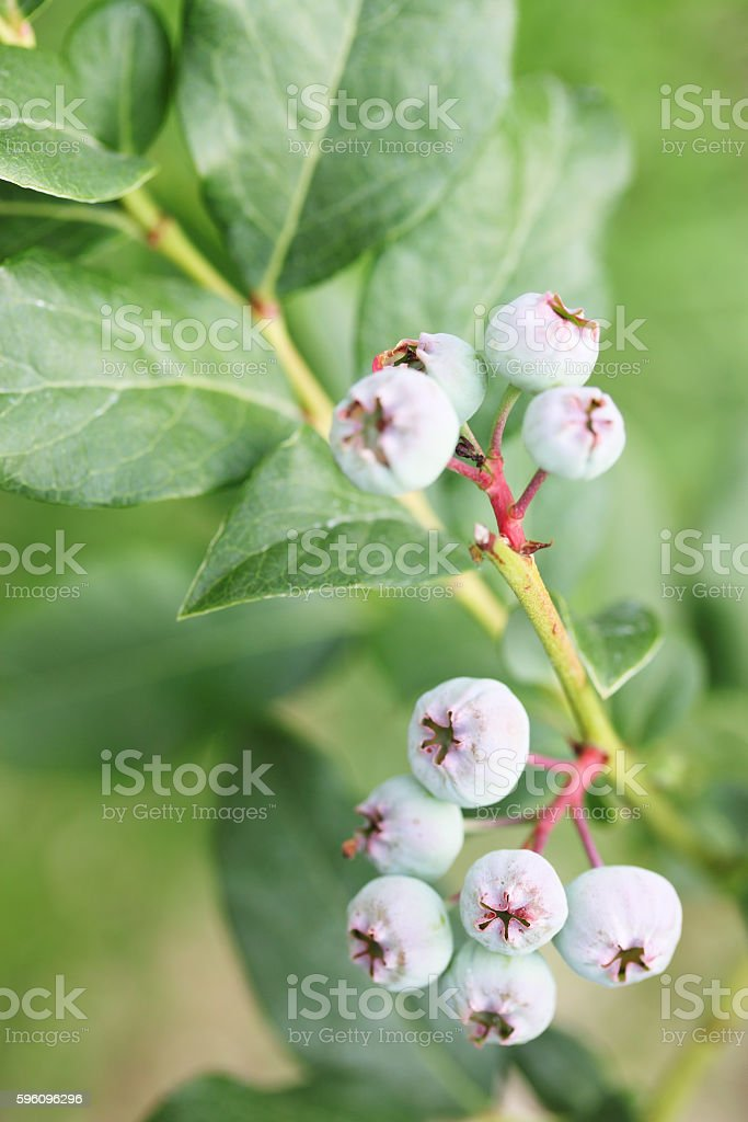 blueberries Canadian tall, close-up royalty-free stock photo