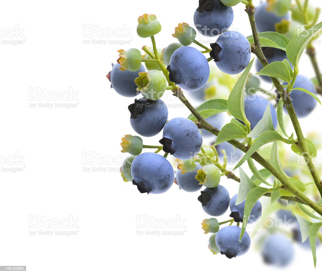 Blueberries growing on a branch against a white background stock photo