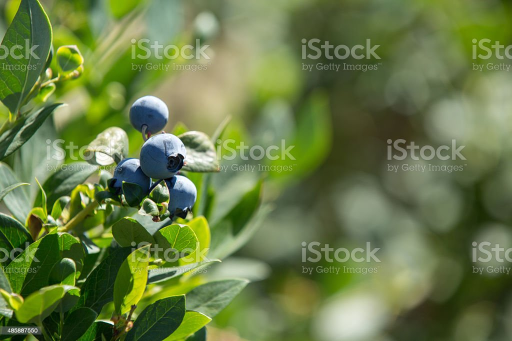 Blueberries In Close-Up stock photo