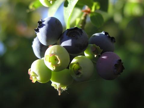 Blueberries in progress