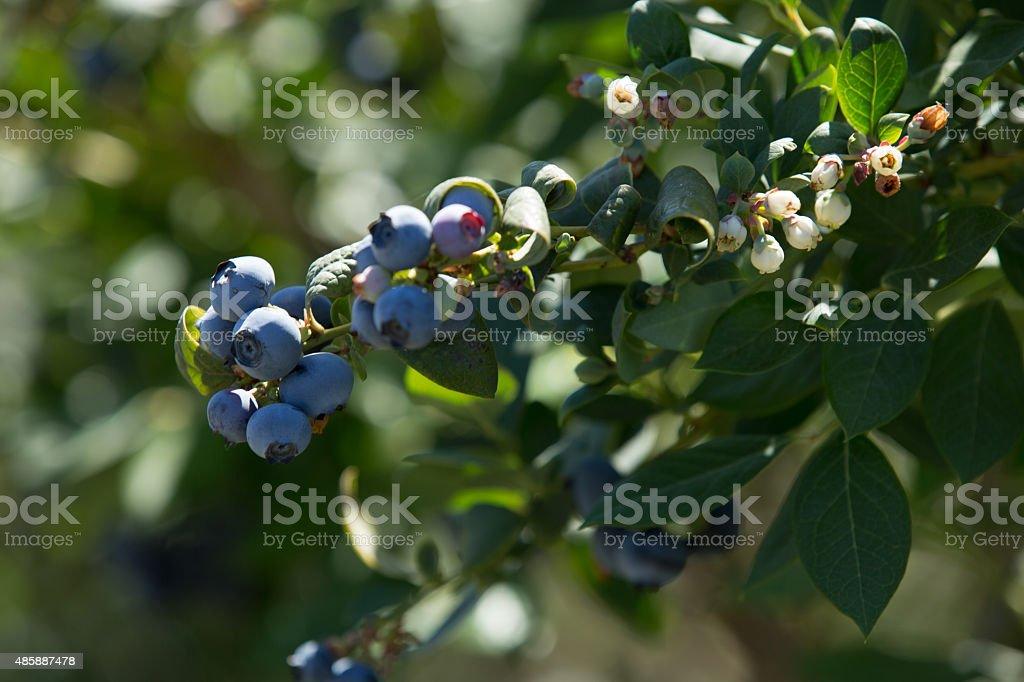 Blueberries On A Bush stock photo
