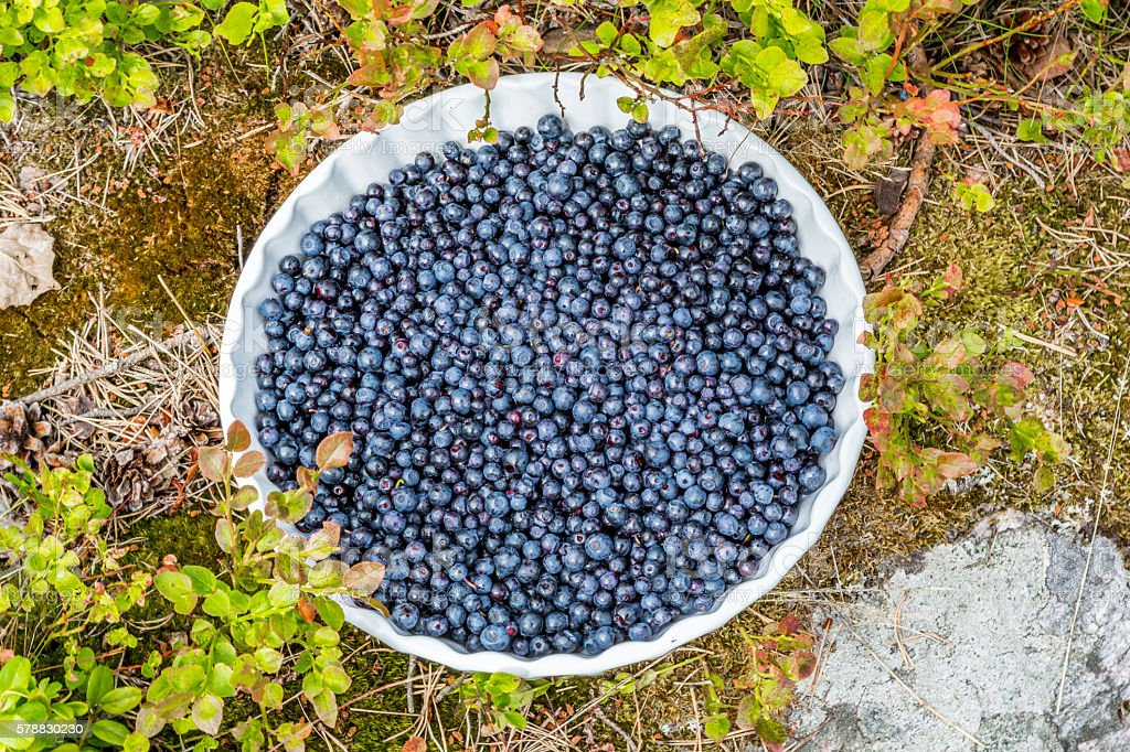 Blueberries on a plate outdoors in bushy vegetation. royalty-free stock photo