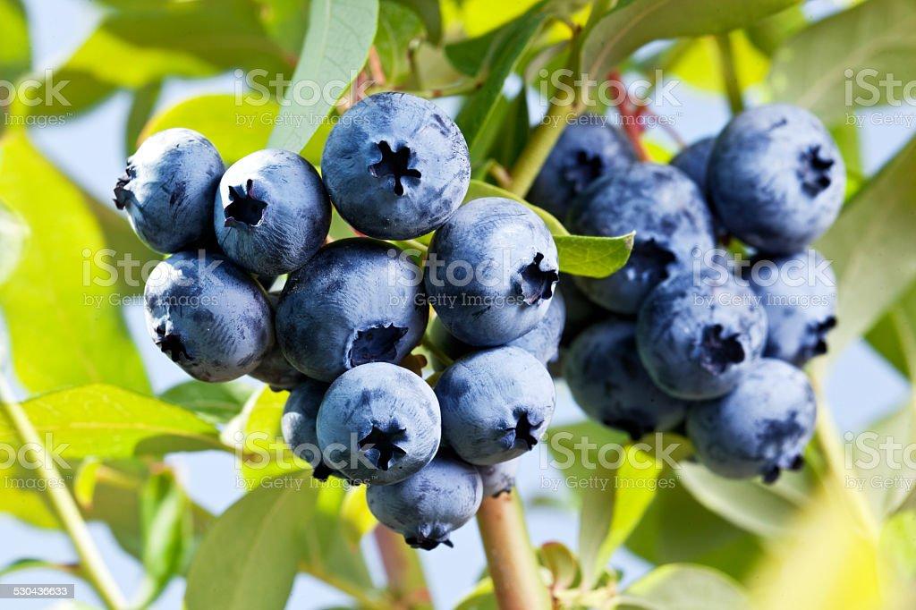 Blueberries on a shrub. stock photo