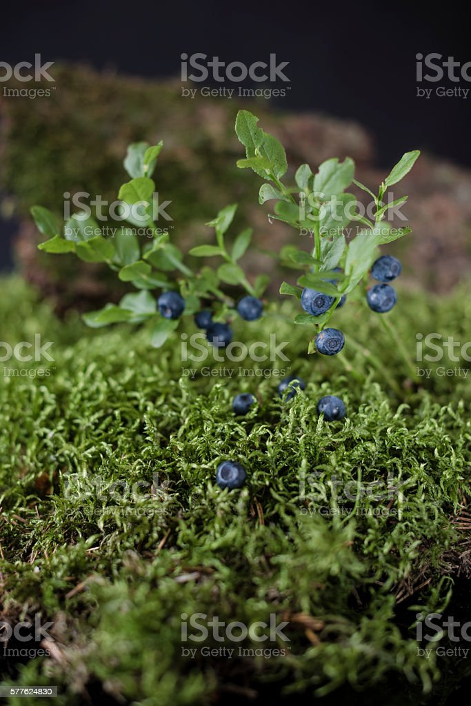 Blueberries on bushes of berries surrounded by green moss – zdjęcie
