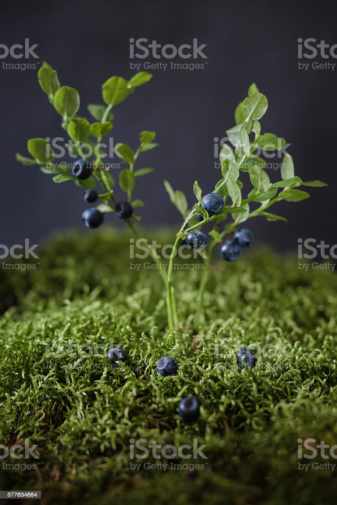 Blueberries on bushes – zdjęcie