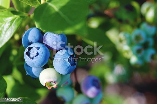 blueberries on the bush in sunlight, close up