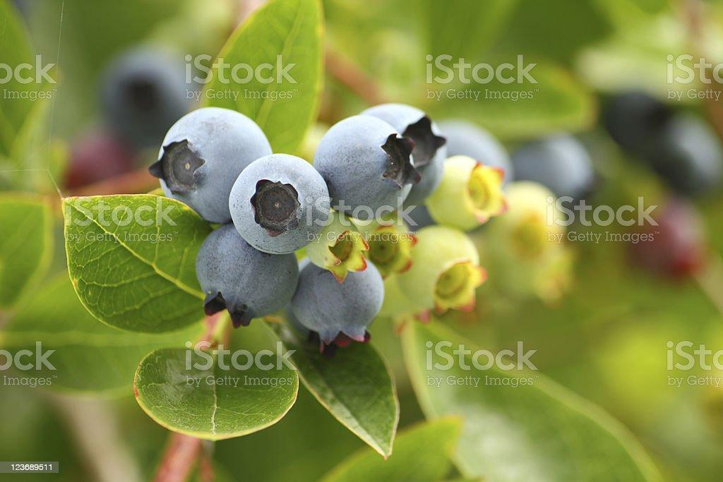 Blueberries on the Bush stock photo