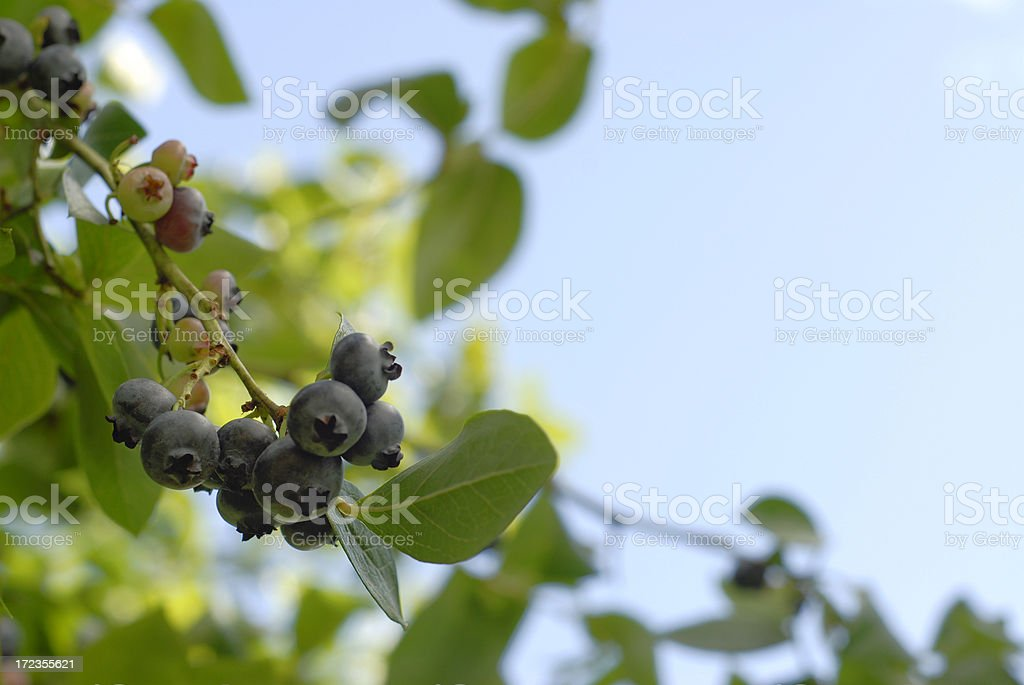 Blueberries On The Vine royalty-free stock photo