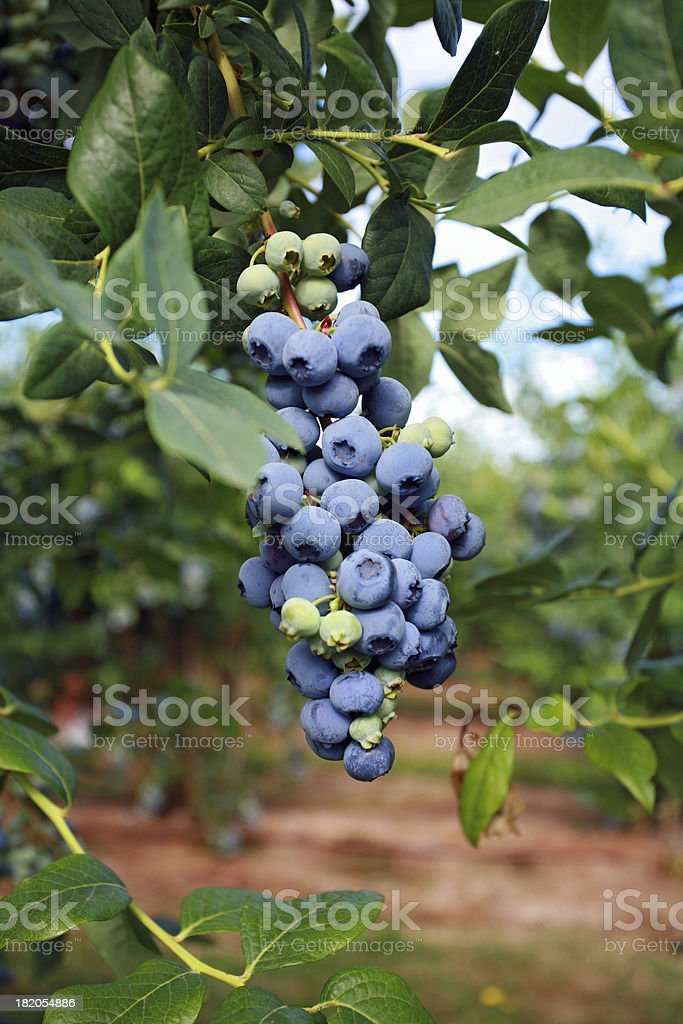 Blueberries on Tree royalty-free stock photo