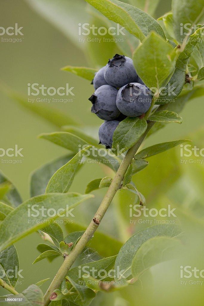 Blueberries royalty-free stock photo
