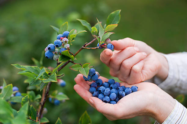 blueberries - picking stock photos and pictures