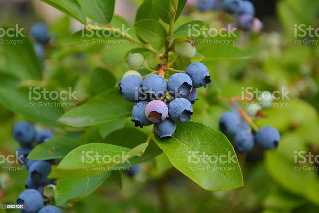 Blueberries plant stock photo