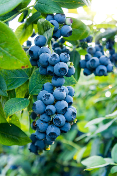 blueberries ready for picking - blueberry stock photos and pictures