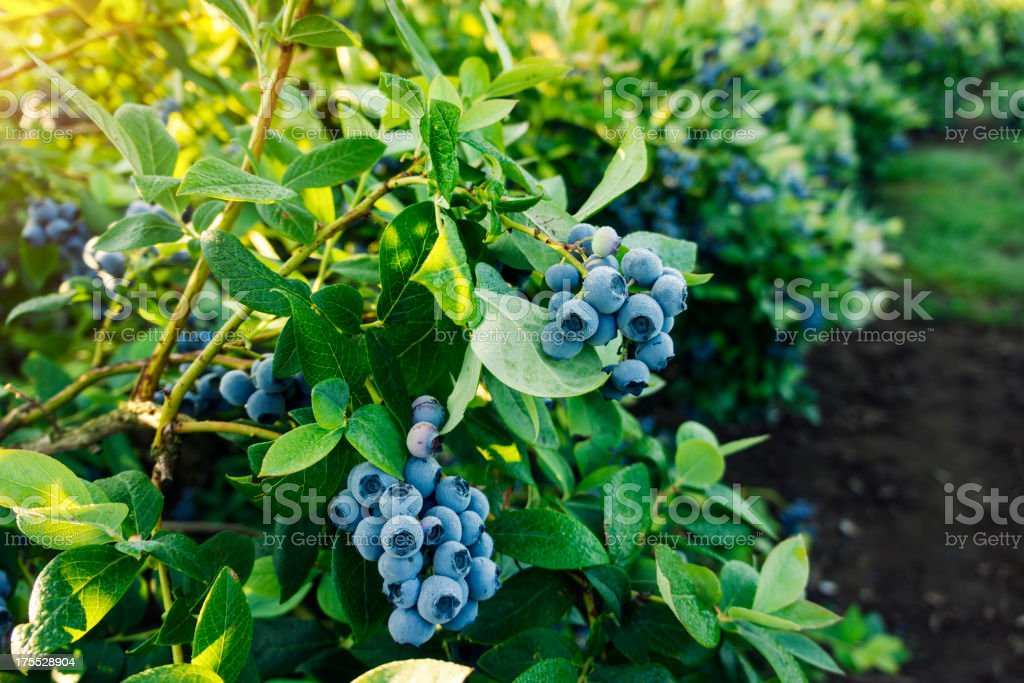 Blueberries ready for picking bildbanksfoto
