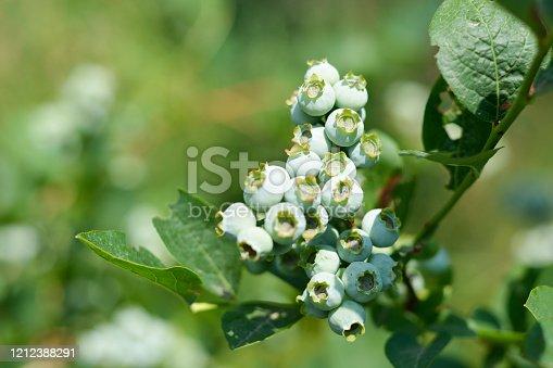 istock Blueberries ripen in the sun 1212388291