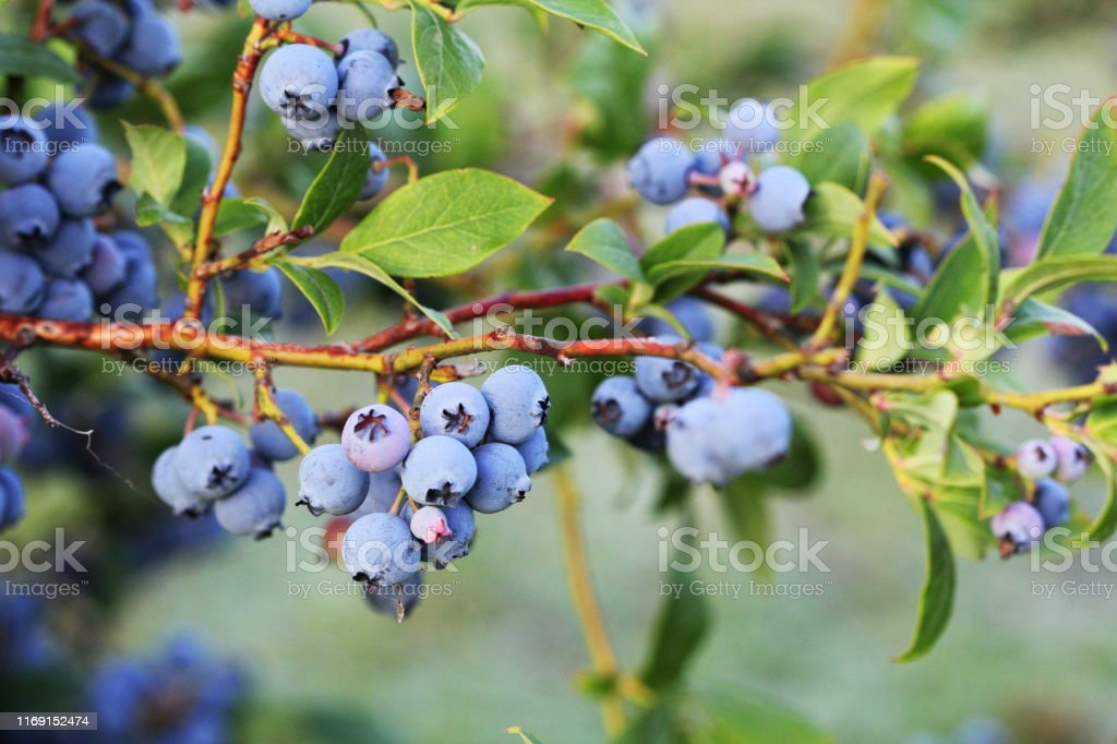 Blueberries ripening on the bush. Shrub of blueberries. Growing berries in the garden. Close-up of blueberry bush, Vaccinium corymbosum. Blueberries ripening on the bush. Shrub of blueberries. Growing berries in the garden. Close-up of blueberry bush, Vaccinium corymbosum. Agriculture Stock Photo