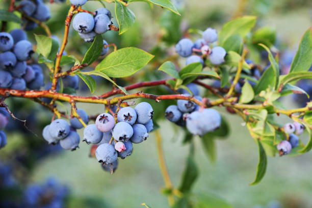 Blueberries ripening on the bush. Shrub of blueberries. Growing berries in the garden. Close-up of blueberry bush, Vaccinium corymbosum. stock photo