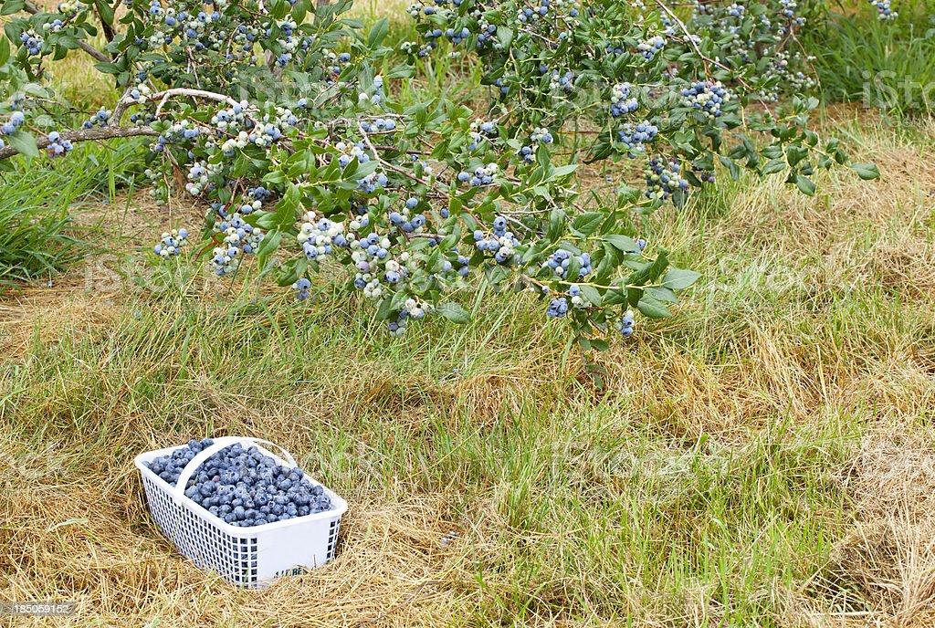 Blueberry Basket in Field stock photo