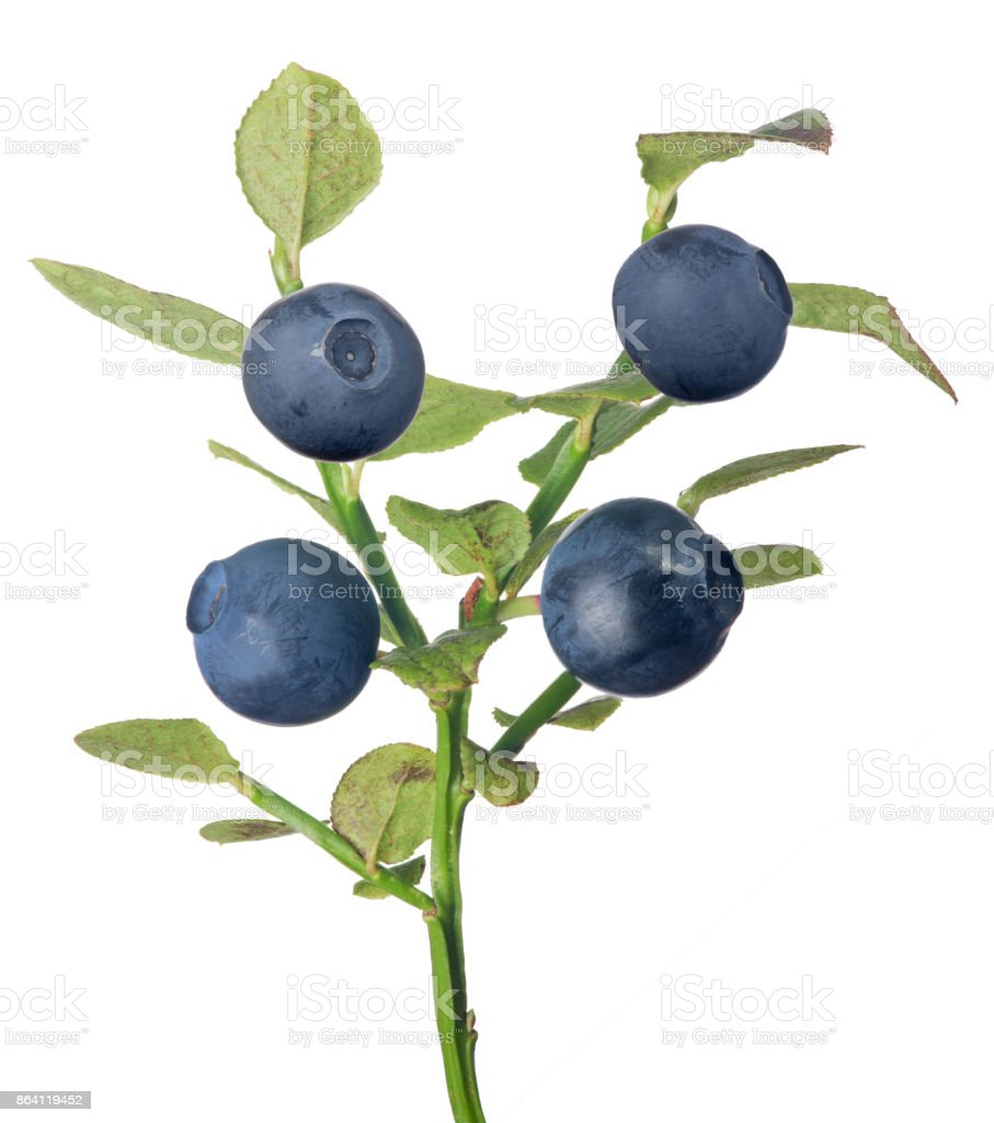 blueberry branch with four dark berries royalty-free stock photo