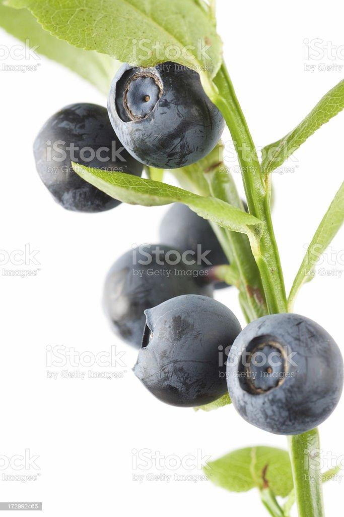 Blueberry branchlet royalty-free stock photo