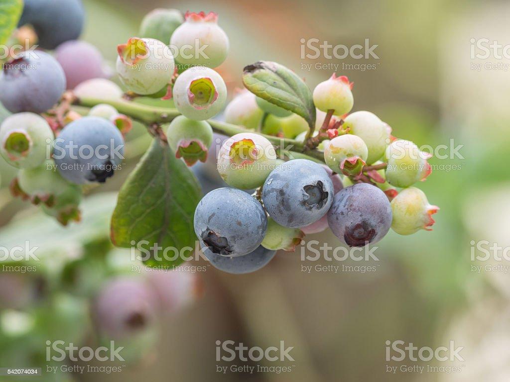 blueberry bunch on a blueberry bush stock photo