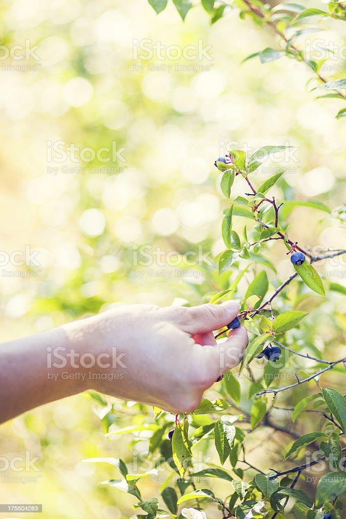 Blueberry Bush and Harvesting Hand stock photo