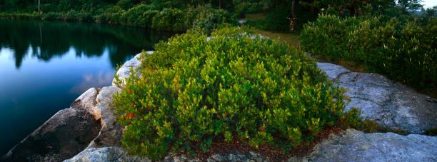 Blueberry Bush at Lake Awosting stock photo