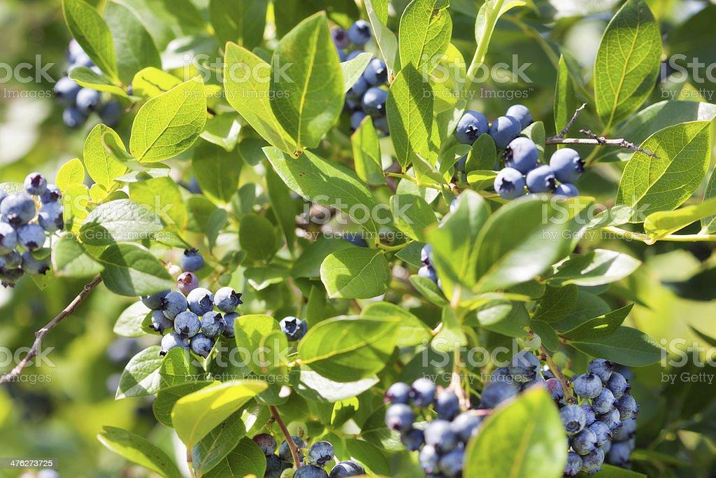 Blueberry Bush Loaded with Ripe Berry Fruit Horizontal stock photo
