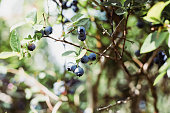 Blueberry, Plant, Food, Vegetable Garden, Berry Fruit