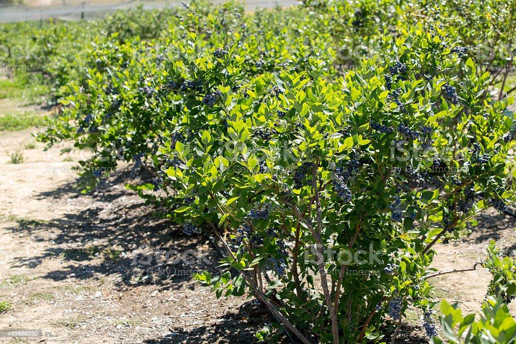 Blueberry Bushes stock photo