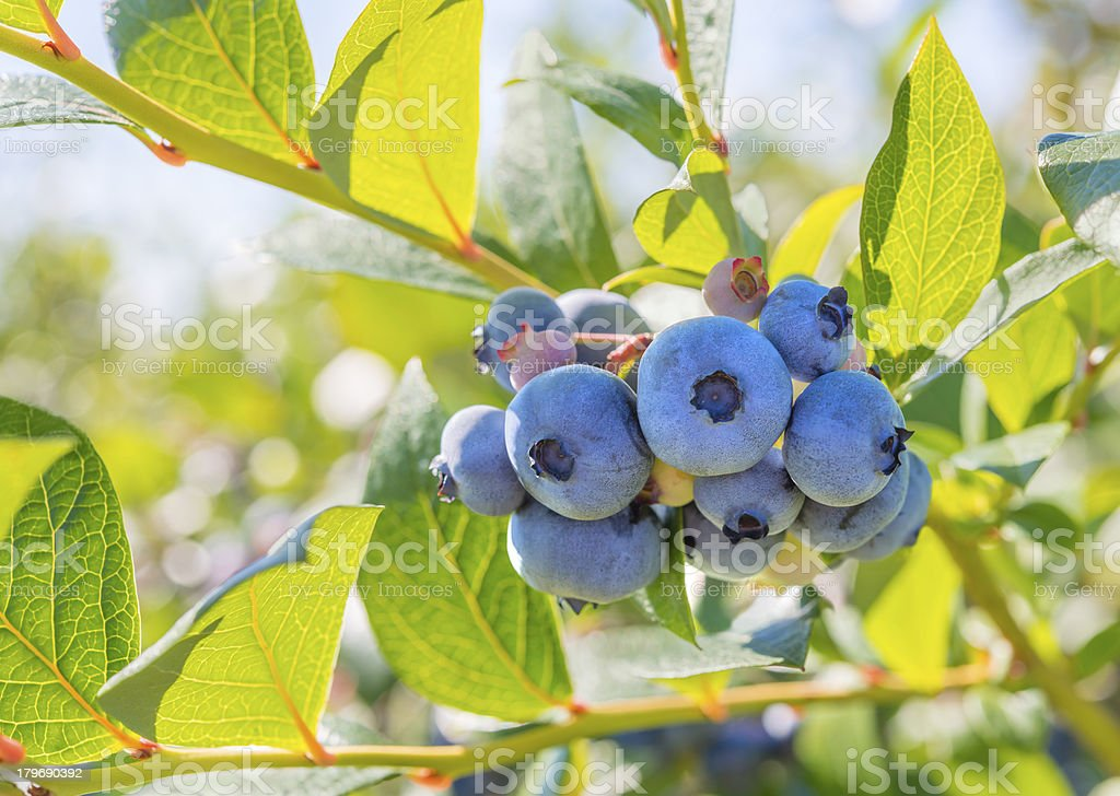 Blueberry Close-up royalty-free stock photo