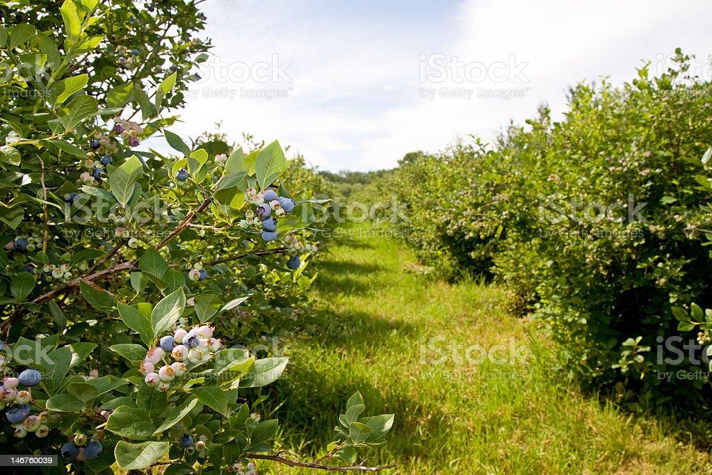 Blueberry Farm stock photo