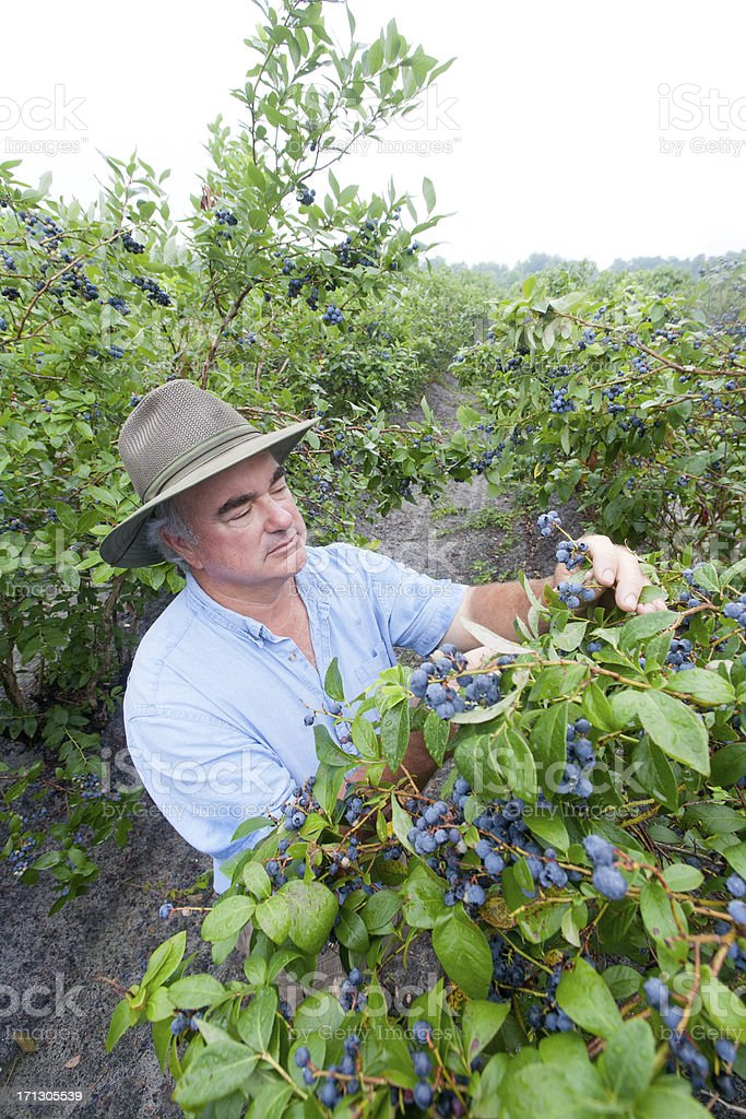 Blueberry farmer examining a crop of ripe blueberries stock photo