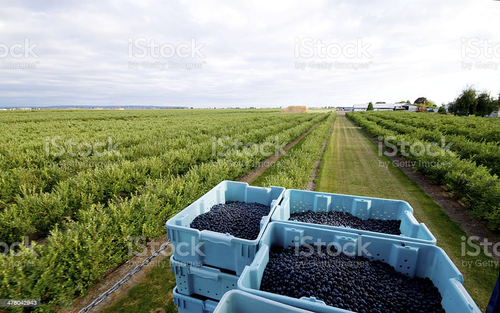 Blueberry Field stock photo