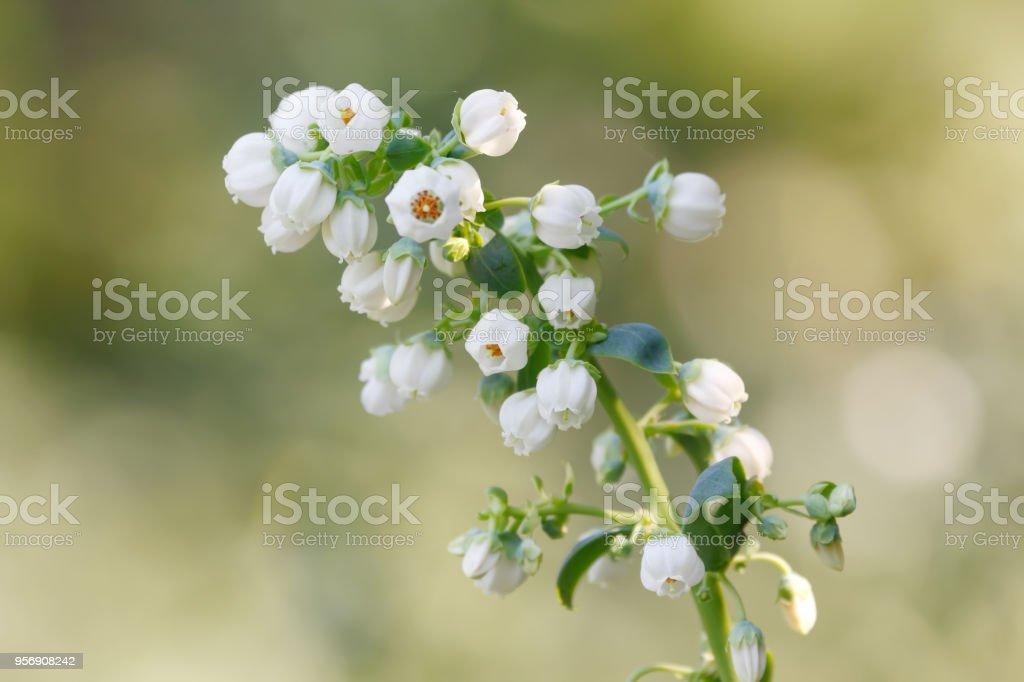 Blueberry flower stock photo