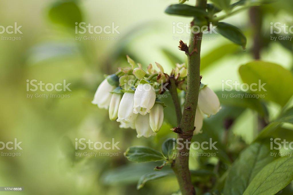Blueberry Flowers stock photo