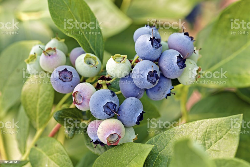 blueberry fruit on the branch royalty-free stock photo