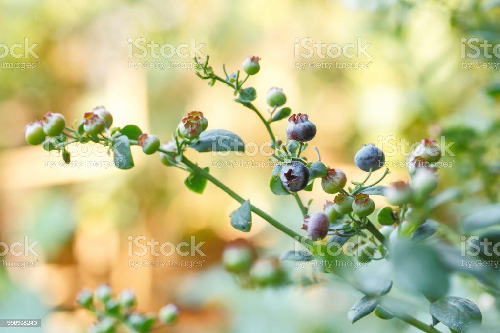 Blueberry fruit tree stock photo
