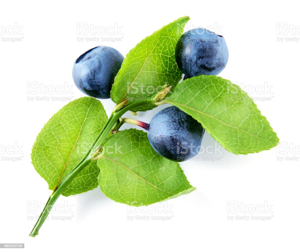 Blueberry isolated on white background. Plant with leaves and berries. stock photo