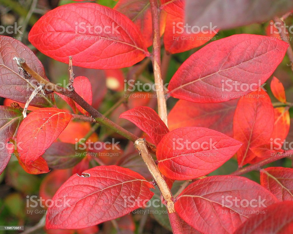 Blueberry Leaves in Fall stock photo