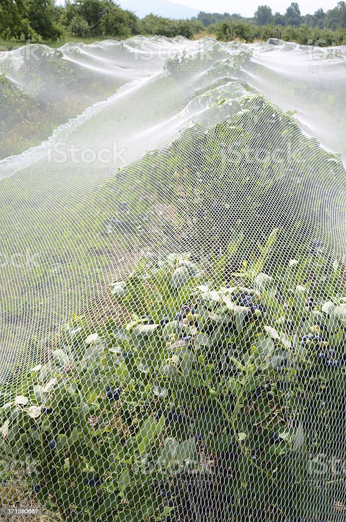Blueberry Netting royalty-free stock photo