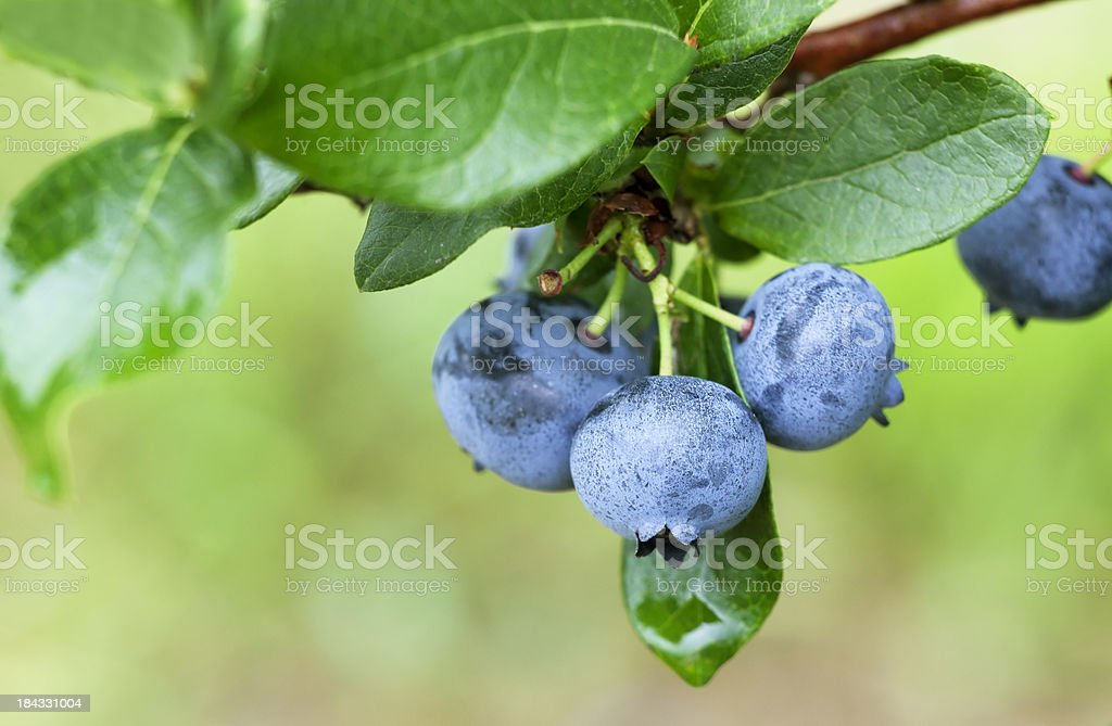Blueberry on Branch Tip stock photo