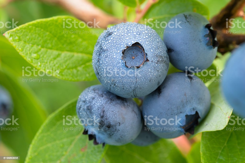 Blueberry on the bush stock photo