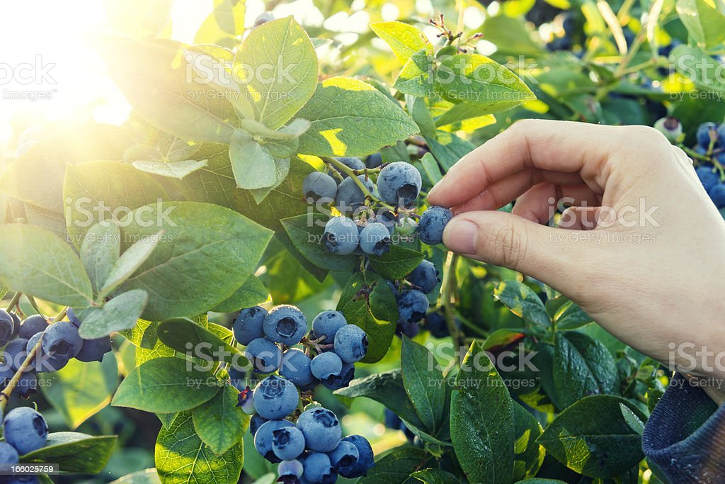 Blueberry picking in early morning stock photo