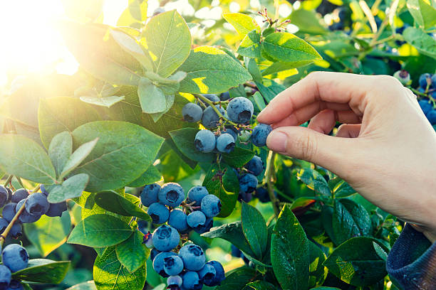 blueberry picking in early morning - blueberry stock pictures, royalty-free photos & images