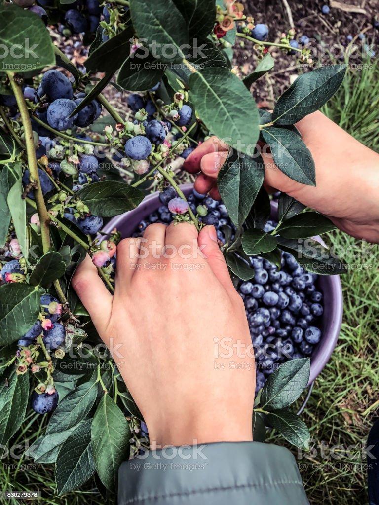 Blueberry picking stock photo
